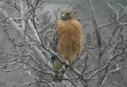 red tailed hawk jan 2010 0001