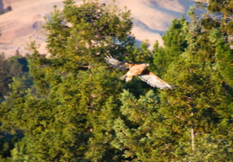 red tailed hawk june 2012 09