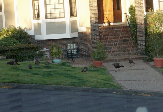 turkeys on neighbors lawn july 2011 01