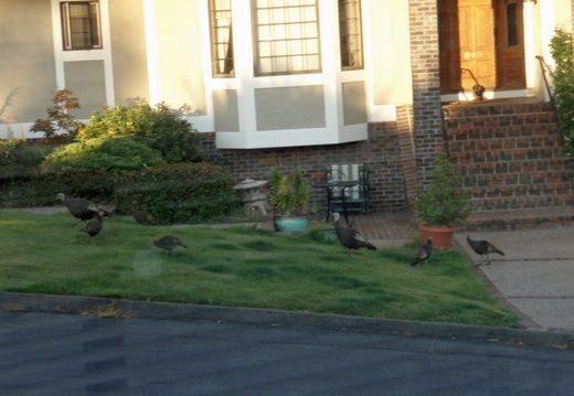 turkeys on neighbors lawn july 2011 02