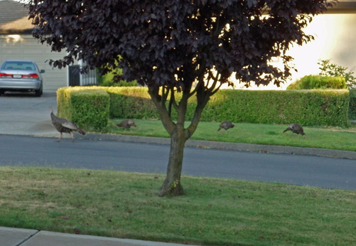 turkeys on neighbors lawn july 2011 03