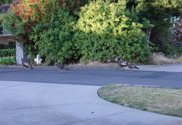 turkeys on neighbors lawn july 2011 04