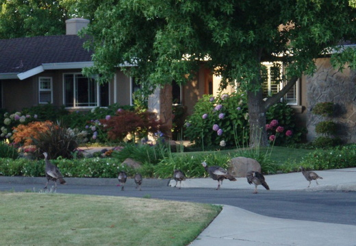 turkeys on neighbors lawn july 2011 05