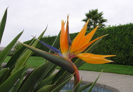 bird of paradise our house 04