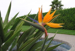 bird of paradise our house 05