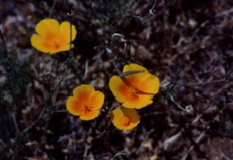 Mt_Diablo_Flowers